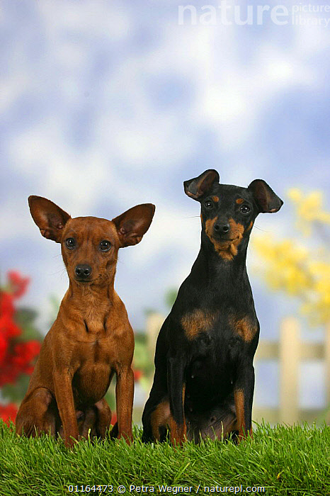 Domestic dogs, two Miniature Pinschers, one with cropped ears and the other with natural ears  ,  DOGS,ear cropping,FRIENDS,pedigree,PETS,SITTING,Studio,toy dogs,VERTEBRATES,VERTICAL,Canids  ,  Petra Wegner