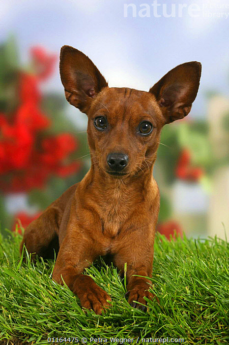 Domestic dog, Miniature Pinscher with cropped ears  ,  CUTE,DOGS,ear cropping,EARS,lying down,pedigree,PETS,Studio,toy dogs,VERTEBRATES,VERTICAL,Canids  ,  Petra Wegner