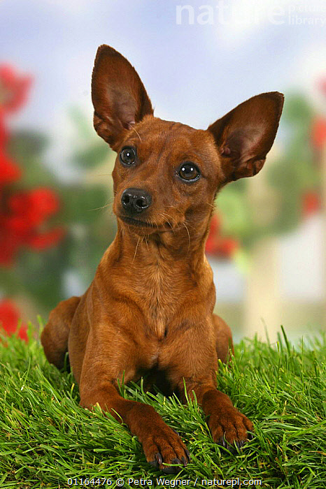 Domestic dog, Miniature Pinscher with cropped ears  ,  CUTE,DOGS,ear cropping,EARS,pedigree,PETS,Studio,toy dogs,VERTEBRATES,VERTICAL,Canids  ,  Petra Wegner