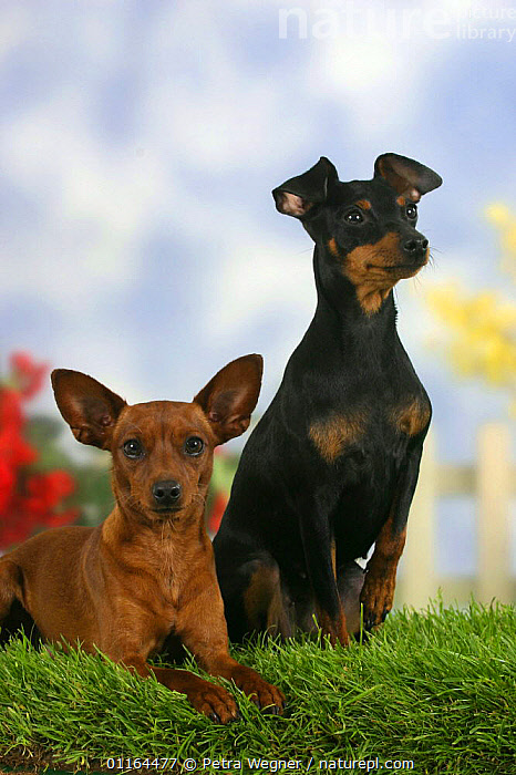 Domestic dogs, two Miniature Pinschers, one with cropped ears and the other with natural ears, DOGS,FRIENDS,lying down,pedigree,PETS,SITTING,Studio,VERTEBRATES,VERTICAL,Canids, Petra Wegner
