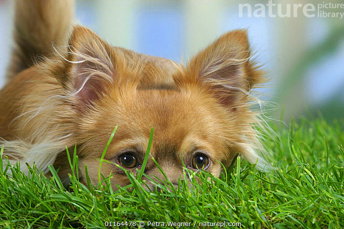 Domestic dog, long-haired Chihuahua with face in grass.  ,  CUTE,DOGS,FACES,lying down,pedigree,PETS,Studio,toy dogs,VERTEBRATES,Canids  ,  Petra Wegner