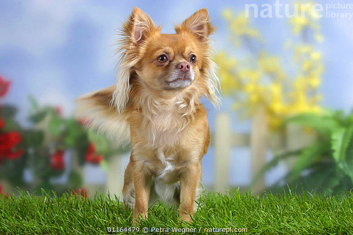 Domestic dog, long-haired Chihuahua  ,  DOGS,pedigree,PETS,STANDING,Studio,toy dogs,VERTEBRATES,Canids  ,  Petra Wegner