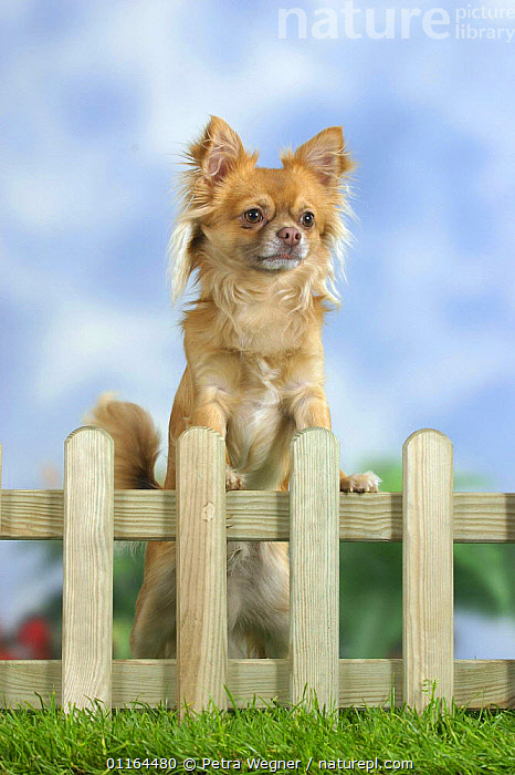 Domestic dog, long-haired Chihuahua looking over garden fence  ,  CUTE,DOGS,pedigree,PETS,STANDING,Studio,toy dogs,VERTEBRATES,VERTICAL,Canids  ,  Petra Wegner