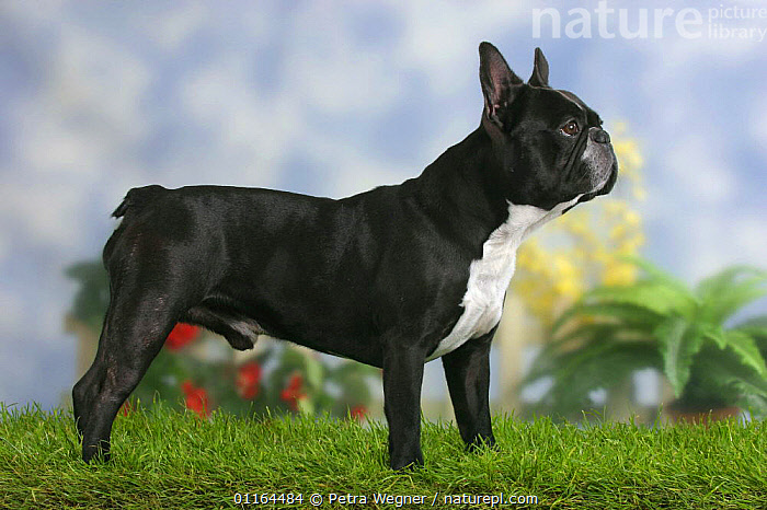 Domestic dog, French Bulldog standing in show stack, DOGS,pedigree,PETS,pose,posing,PROFILE,STANDING,Studio,utility,VERTEBRATES,WORKING,Canids, Petra Wegner