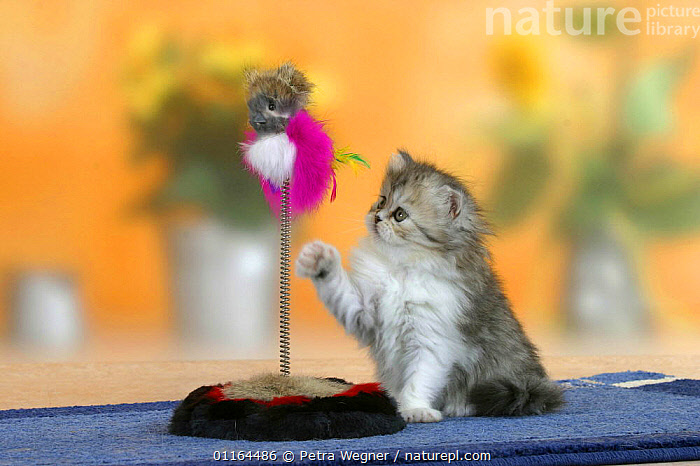 Persian kitten, 6 weeks, playing with toy  ,  BABIES,BABY,CATS,CUTE,FLUFFY,JUVENILE,kitten,kittens,pedigree,PETS,SITTING,Studio,VERTEBRATES  ,  Petra Wegner
