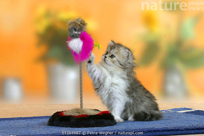 Persian kitten, 6 weeks, playing with toy, BABIES,BABY,CATS,CUTE,FLUFFY,JUVENILE,kitten,kittens,pedigree,PETS,SITTING,Studio,VERTEBRATES, Petra Wegner