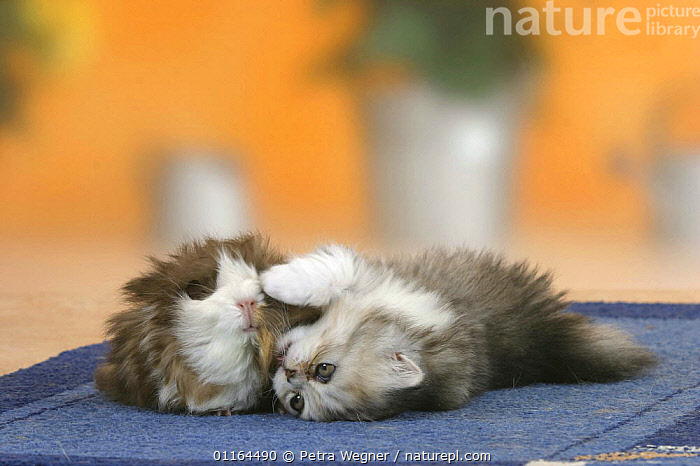 Persian Cat, kitten, 6 weeks, playing with domestic Guinea Pig (Cavia porcellus), BABIES,BABY,CATS,CAVIES,CUTE,FRIENDS,funny,INTERACTION,JUVENILE,kitten,kittens,lying down,MAMMALS,pedigree,PETS,rodents,Studio,VERTEBRATES, Petra Wegner