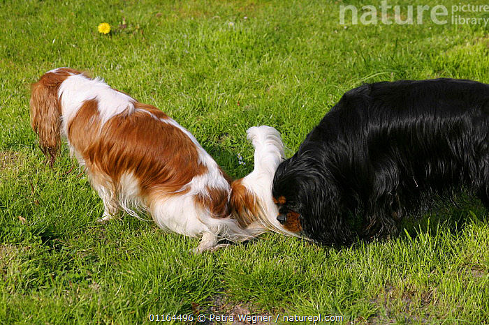 Domestic dog, Cavalier King Charles Spaniel bitch urinating, male sniffing  ,  BEHAVIOUR,DOGS,Pair,pedigree,PETS,toy dogs,VERTEBRATES,Canids  ,  Petra Wegner