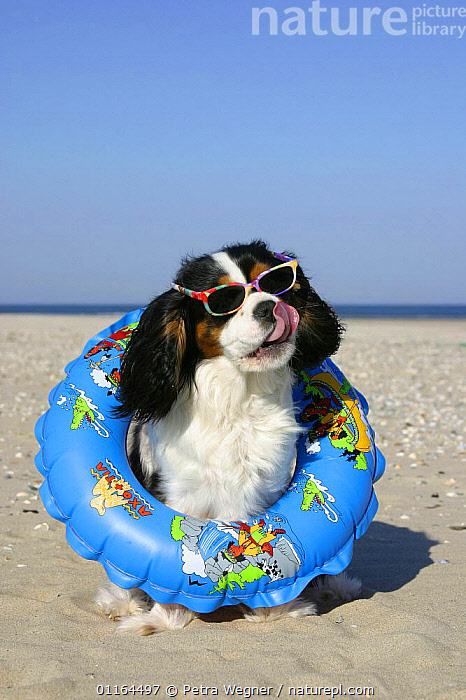 Domestic dog, Cavalier King Charles Spaniel (tricolor) with swimming belt and sun glasses at beach, clothing,DOGS,funny,HOLIDAYS,humourous,pedigree,PETS,seaside,SITTING,SUMMER,toy dogs,VERTEBRATES,VERTICAL,Concepts,Canids, Petra Wegner