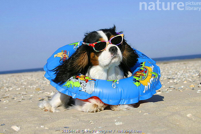 Domestic dog, Cavalier King Charles Spaniel (tricolor) with swimming belt and sun glasses at beach  ,  clothing,DOGS,funny,HOLIDAYS,humourous,lying down,pedigree,PETS,seaside,SUMMER,toy dogs,VERTEBRATES,Concepts,Canids  ,  Petra Wegner