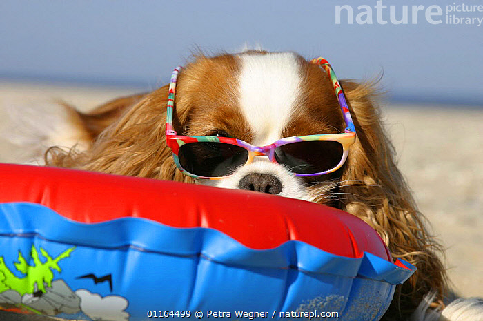 Cavalier King Charles Spaniel (Blenheim) with swimming belt and sun glasses at beach, clothing,DOGS,funny,humorous,lying down,pedigree,PETS,toy dogs,VERTEBRATES,Canids,Concepts, Petra Wegner