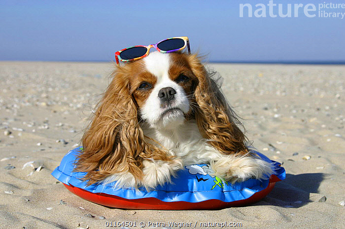 Domestic dog, Cavalier King Charles Spaniel, Blenheim with swimming belt and sun glasses at beach, clothes,DOGS,funny,HOLIDAYS,humorous,lying down,pedigree,PETS,seaside,SUMMER,toy dogs,VERTEBRATES,Concepts,Canids, Petra Wegner