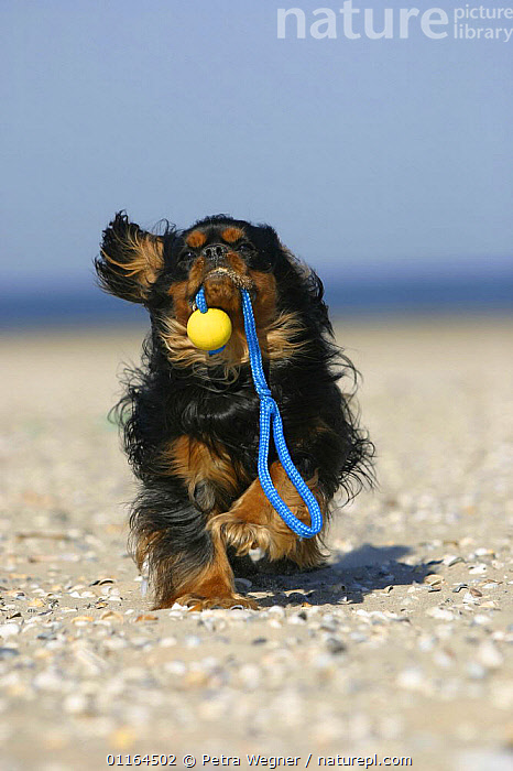 Domestic dog, Cavalier King Charles Spaniel (black and tan) retrieving ball at beach, DOGS,funny,humourous,pedigree,PETS,playing,toy dogs,toys,VERTEBRATES,VERTICAL,Canids, Petra Wegner