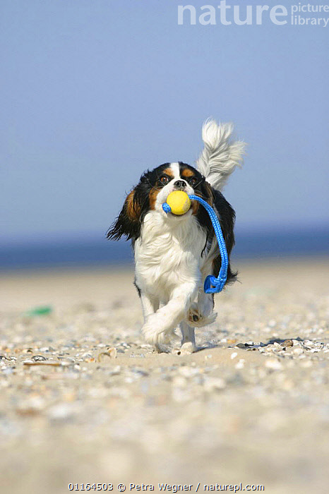 Domestic dog, Cavalier King Charles Spaniel (tricolor) retrieving ball at beach, DOGS,HOLIDAYS,pedigree,PETS,playing,seaside,SUMMER,toy dogs,toys,VERTEBRATES,VERTICAL,Concepts,Canids, Petra Wegner