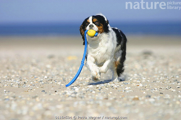 Domestic dog, Cavalier King Charles Spaniel  (tricolor) retrieving ball at beach, DOGS,HOLIDAYS,pedigree,PETS,playing,seaside,SUMMER,toy dogs,toys,VERTEBRATES,Concepts,Canids, Petra Wegner