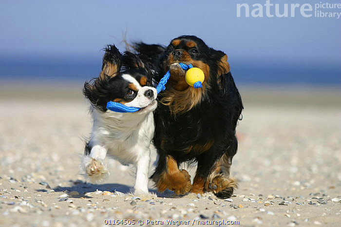 Domestic dog, two Cavalier King Charles Spaniels retrieving ball at beach  ,  CUTE,DOGS,FRIENDS,funny,humourous,pedigree,PETS,playing,toy dogs,VERTEBRATES,Canids  ,  Petra Wegner