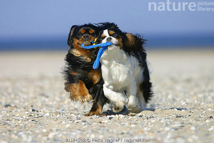 Domestic dog, two Cavalier King Charles Spaniels retrieving ball at beach  ,  CUTE,DOGS,FRIENDS,funny,pedigree,PETS,playing,toy dogs,VERTEBRATES,Canids  ,  Petra Wegner
