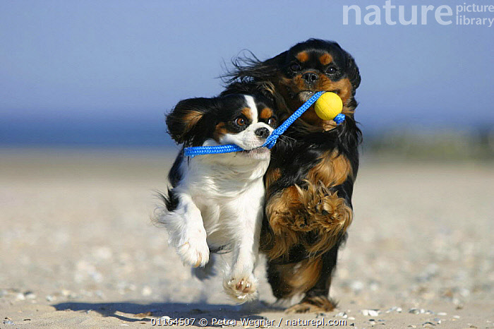 Domestic dog, two Cavalier King Charles Spaniels retrieving ball at beach, CUTE,DOGS,FRIENDS,funny,pedigree,PETS,playing,toy dogs,VERTEBRATES,Canids, Petra Wegner