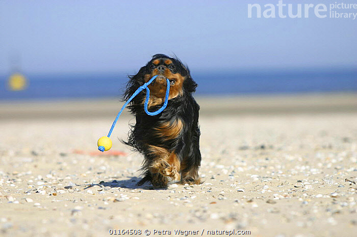 Domestic dog, Cavalier King Charles Spaniel (black and tan) retrieving ball at beach  ,  CARRYING,CUTE,DOGS,pedigree,PETS,playing,toy dogs,toys,VERTEBRATES,Canids  ,  Petra Wegner