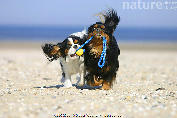 Domestic dog, two Cavalier King Charles Spaniels, retrieving ball at beach  ,  CARRYING,CUTE,DOGS,FRIENDS,funny,pedigree,PETS,toy dogs,toys,VERTEBRATES,Canids  ,  Petra Wegner