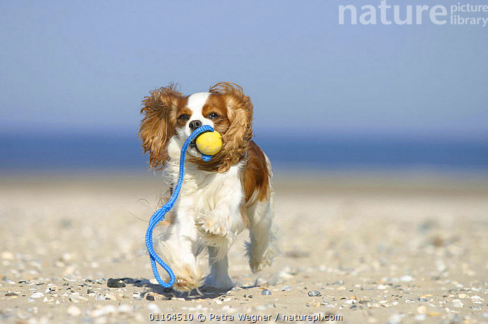 Domestic dog, Cavalier King Charles Spaniel (Blenheim) retrieving ball at beach, CARRYING,CUTE,DOGS,pedigree,PETS,playing,toy dogs,toys,VERTEBRATES,Canids, Petra Wegner