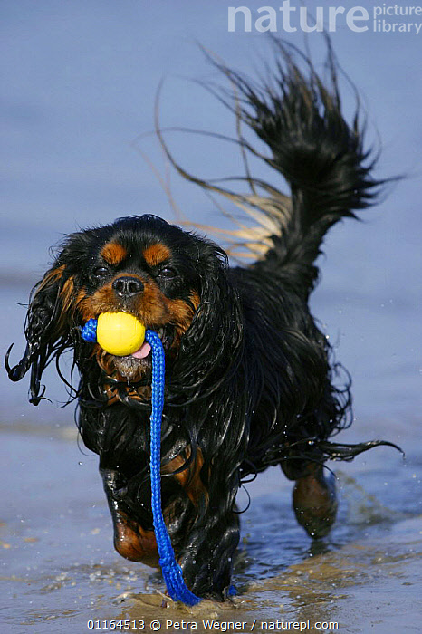 Domestic dog, Cavalier King Charles Spaniel (black and tan) retrieving ball at beach  ,  CARRYING,DOGS,pedigree,PETS,playing,toy dogs,toys,VERTEBRATES,VERTICAL,wet,Canids  ,  Petra Wegner
