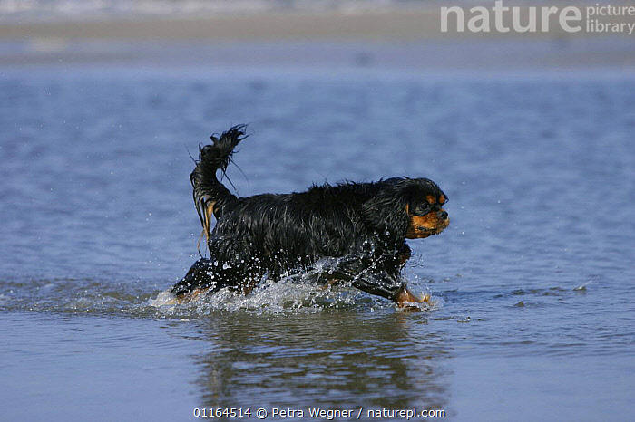 Domestic dog, Cavalier King Charles Spaniel (black and tan) running along the beach., ACTION,DOGS,pedigree,PETS,PROFILE,toy dogs,VERTEBRATES,wet,Canids, Petra Wegner