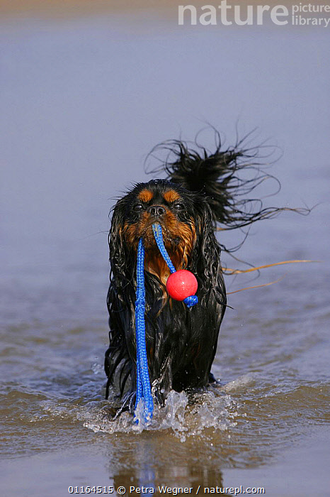 Domestic dog, Cavalier King Charles Spaniel (black and tan) retrieving ball at beach, CARRYING,DOGS,pedigree,PETS,playing,toy dogs,VERTEBRATES,VERTICAL,wet,Canids, Petra Wegner
