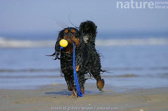 Domestic dog, Cavalier King Charles Spaniel (black and tan) retrieving ball at beach, CARRYING,DOGS,pedigree,PETS,playing,toy dogs,toys,VERTEBRATES,wet,Canids, Petra Wegner