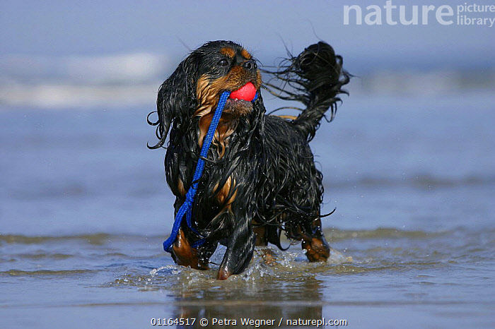 Domestic dog, Cavalier King Charles Spaniel (black and tan) retrieving ball at beach  ,  CARRYING,DOGS,pedigree,PETS,playing,toy dogs,toys,VERTEBRATES,wet,Canids  ,  Petra Wegner