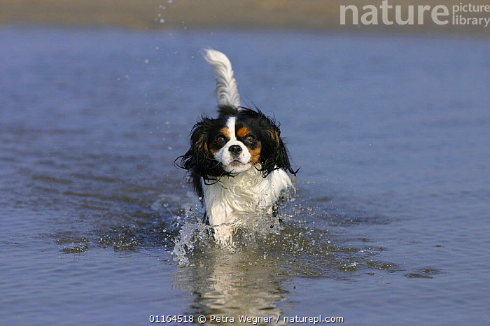 Domestic dog, Cavalier King Charles Spaniel (tricolor) walking in water at beach  ,  CUTE,DOGS,pedigree,PETS,toy dogs,VERTEBRATES,Canids  ,  Petra Wegner