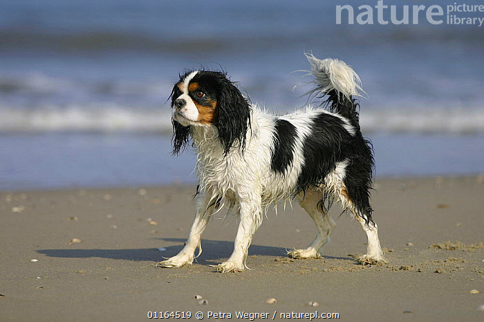 Domestic dog, Cavalier King Charles Spaniel (tricolor) at beach, DOGS,pedigree,PETS,STANDING,toy dogs,VERTEBRATES,wet,Canids, Petra Wegner