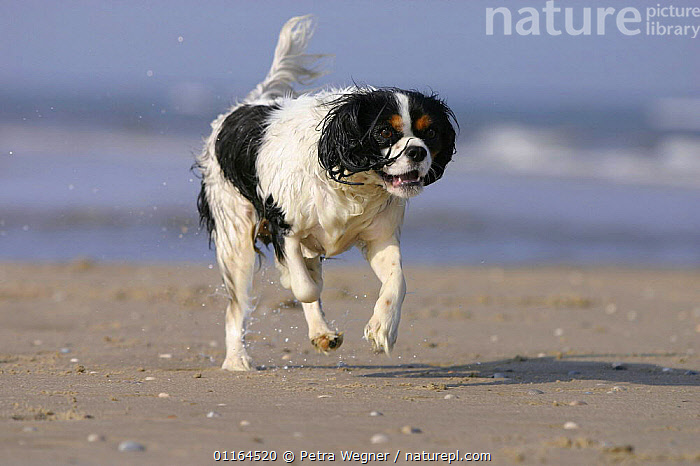 Domestic dog, Cavalier King Charles Spaniel (tricolor) running at beach, ACTION,DOGS,pedigree,PETS,toy dogs,VERTEBRATES,wet,Canids, Petra Wegner