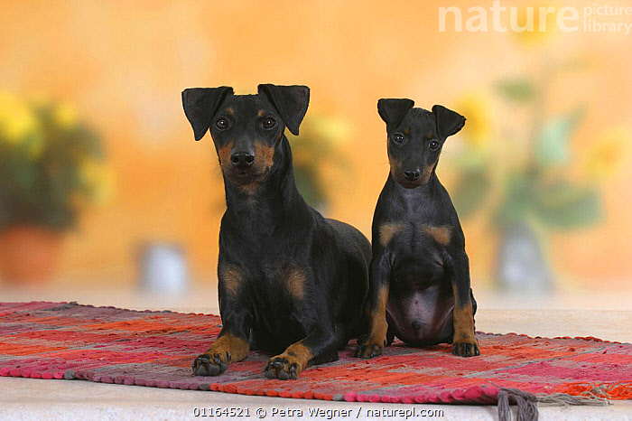 Domestic dog, Manchester Terrier with puppy, 8 weeks, BABIES,BABY,CUTE,DOGS,FAMILIES,hounds,JUVENILE,pedigree,PETS,puppies,puppy,SITTING,Studio,terriers,VERTEBRATES,Canids, Petra Wegner