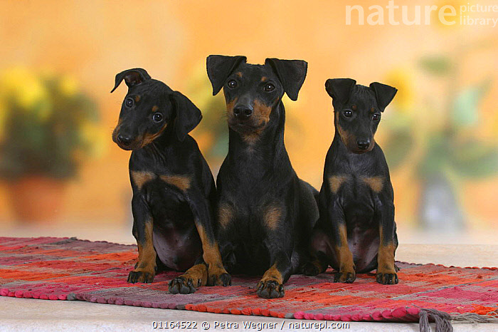 Domestic dog, Manchester Terrier with two puppies 8 weeks, BABIES,BABY,CUTE,DOGS,FAMILIES,hounds,JUVENILE,pedigree,PETS,puppies,puppy,SITTING,Studio,terriers,VERTEBRATES,Canids, Petra Wegner