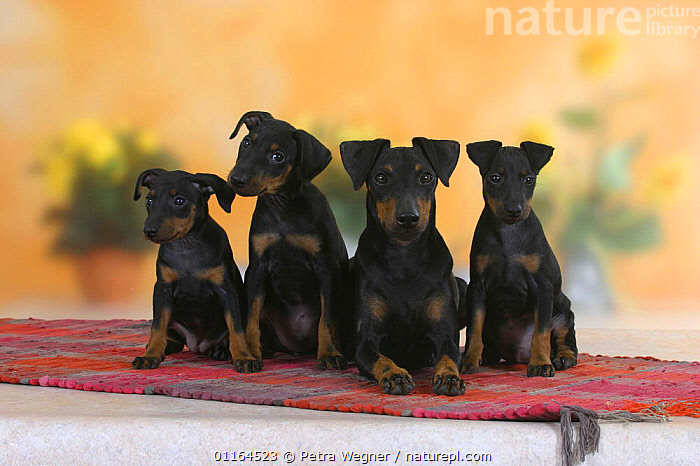 Domestic dog, Manchester Terrier with three puppies, 8 weeks  ,  BABIES,BABY,CUTE,DOGS,FAMILIES,hounds,JUVENILE,lying down,pedigree,PETS,puppies,puppy,SITTING,Studio,terriers,VERTEBRATES,Canids  ,  Petra Wegner