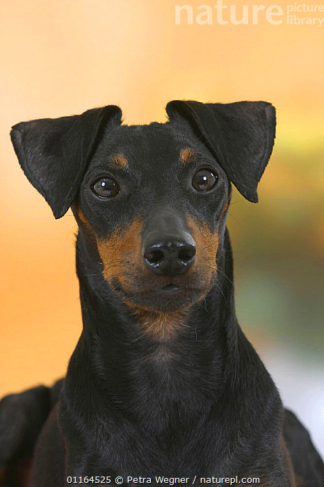 Domestic dog, Manchester Terrier, DOGS,FACES,hounds,pedigree,PETS,Studio,terriers,VERTEBRATES,VERTICAL,Canids, Petra Wegner