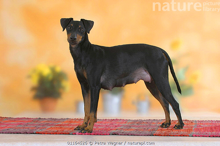 Domestic dog, Manchester Terrier bitch  ,  DOGS,female,hounds,pedigree,PETS,STANDING,Studio,terriers,VERTEBRATES,Canids  ,  Petra Wegner