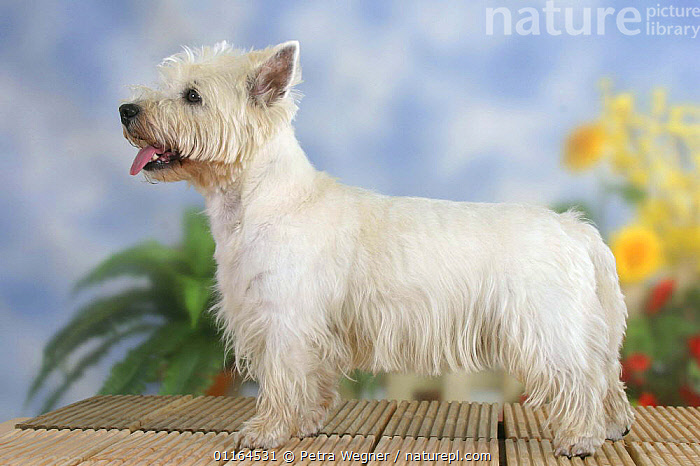 Domestic dog, West Highland White Terrier / Westie standing in show stack, DOGS,hounds,panting,pedigree,PETS,pose,posing,PROFILE,Studio,terriers,VERTEBRATES,Canids, Petra Wegner