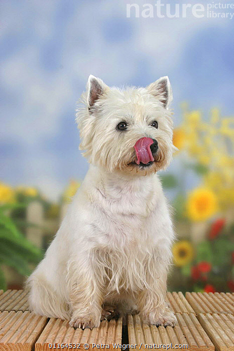 Domestic dog, West Highland White Terrier/ Westie, licking his mouth, CUTE,DOGS,hounds,pedigree,PETS,SITTING,Studio,terriers,TONGUES,VERTEBRATES,VERTICAL,Canids, Petra Wegner