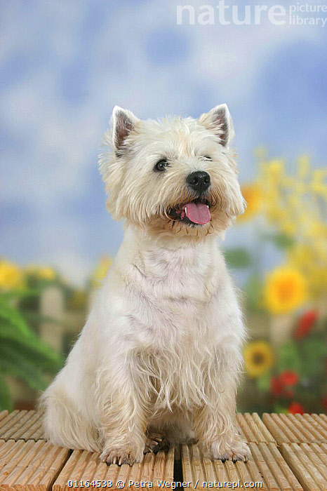 Domestic dog, West Highland White Terrier / Westie, CUTE,DOGS,hounds,panting,pedigree,PETS,SITTING,Studio,terriers,VERTEBRATES,VERTICAL,Canids, Petra Wegner