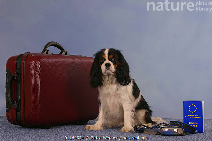 Domestic dog, Cavalier King Charles Spaniel (tricolor) next to suitcase with vaccination card  ,  DOGS,passport,pedigree,PETS,SITTING,Studio,toy dogs,Travel,VERTEBRATES,Canids  ,  Petra Wegner