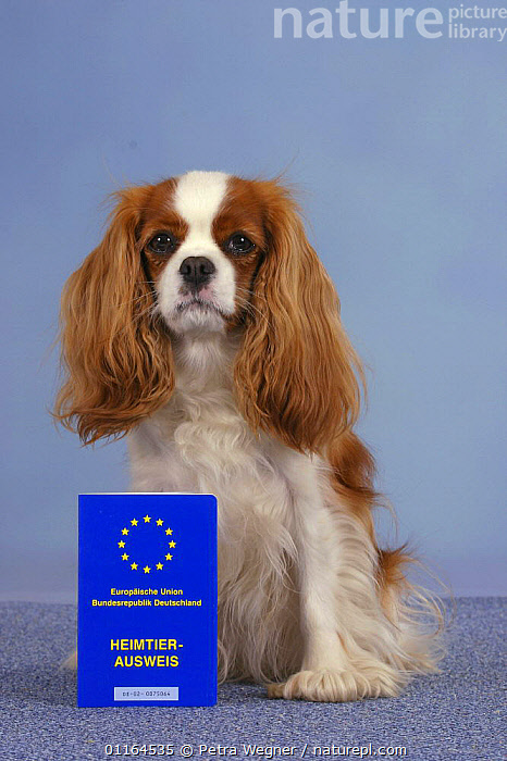 Domestic dog, Cavalier King Charles Spaniel (Blenheim) with vaccination card  ,  DOGS,passport,pedigree,PETS,SITTING,Studio,toy dogs,Travel,VERTEBRATES,VERTICAL,Canids  ,  Petra Wegner
