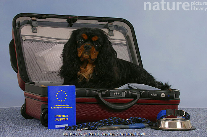 Domestic dog, Cavalier King Charles Spaniel (black and tan) in open suitcase with vaccination card, bowl and leash., DOGS,passport,pedigree,PETS,Studio,toy dogs,Travel,VERTEBRATES,Canids, Petra Wegner