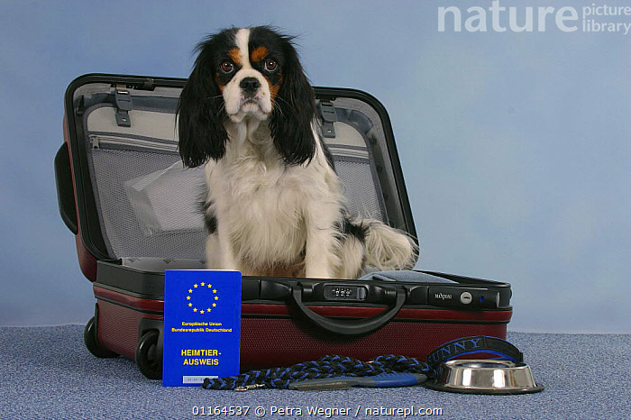 Domestic dog, Cavalier King Charles Spaniel, tricolor, in open suitcase and vaccination card, bowl and leash  ,  DOGS,passport,pedigree,PETS,SITTING,Studio,toy dogs,Travel,VERTEBRATES,Canids  ,  Petra Wegner