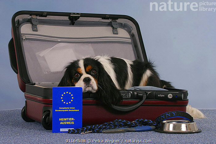 Domestic dog, Cavalier King Charles Spaniel, tricolor, in open suitcase and vaccination card, bowl and leash, DOGS,lying down,passport,pedigree,PETS,Studio,toy dogs,Travel,VERTEBRATES,Canids, Petra Wegner