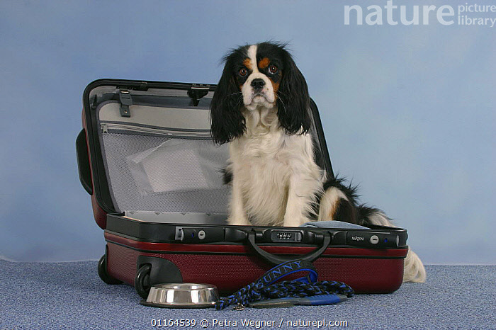 Domestic dog, Cavalier King Charles Spaniel, tricolor, in open suitcase with bowl and leash, DOGS,pedigree,PETS,SITTING,Studio,toy dogs,Travel,VERTEBRATES,Canids, Petra Wegner