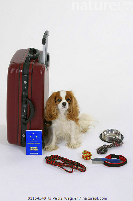 Domestic dog, Cavalier King Charles Spaniel (Blenheim) next to suitcase with vaccination card, abroad,bowl,CUTOUT,DOGS,HOLIDAYS,leash,pedigree,PETS,Studio,toy dogs,Travel,VERTEBRATES,VERTICAL,Concepts,Canids,passport, Petra Wegner