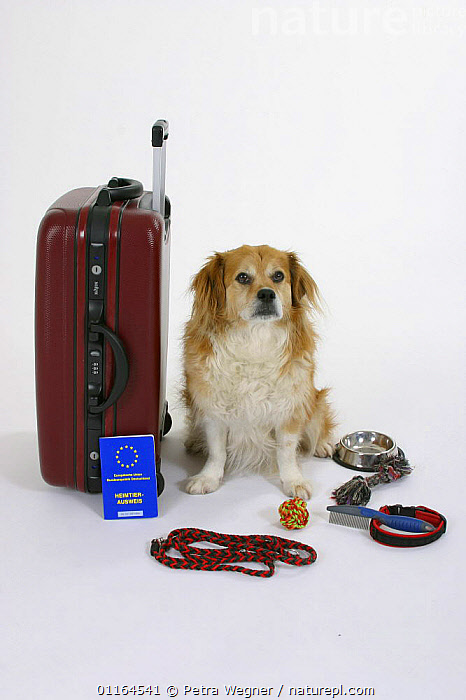 Domestic dog, Mixed Breed Dog next to suitcase with vaccination card  ,  aborad,bowl,CUTOUT,DOGS,half breed,HOLIDAYS,leash,mongrel,mutt,pedigree,PETS,SITTING,Studio,toy, dogs,Travel,VERTEBRATES,VERTICAL,Concepts,Canids,passport  ,  Petra Wegner