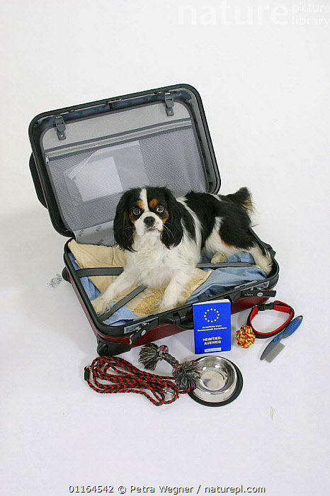 Domestic dog, Cavalier King Charles Spaniel (tricolour) in suitcase with vaccination card  ,  aborad,Aerial,bowl,CUTOUT,DOGS,HOLIDAYS,leash,lying down,pedigree,PETS,Studio,toy dogs,Travel,tricolor,VERTEBRATES,VERTICAL,Concepts,Canids,passport  ,  Petra Wegner
